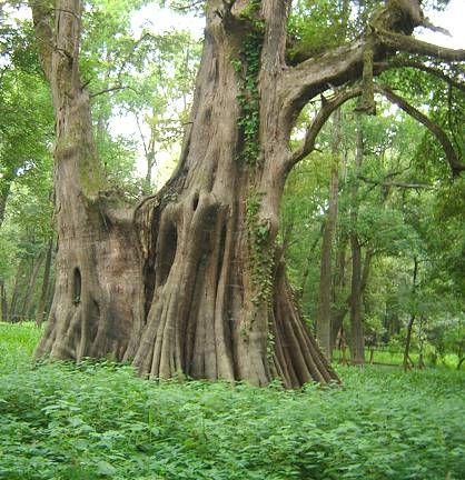 Bald Cypress; Cat Island, Louisiana