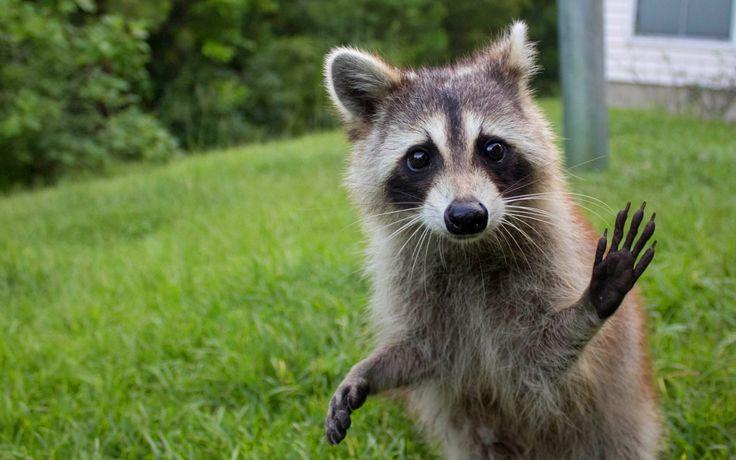 Funny Raccoon Wallpaper