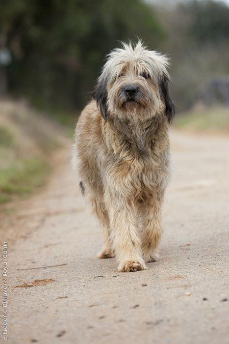 Spain. Gos d'Atura Catalá - Perro de pastor catalán (Catalonian Sheepdog) sable