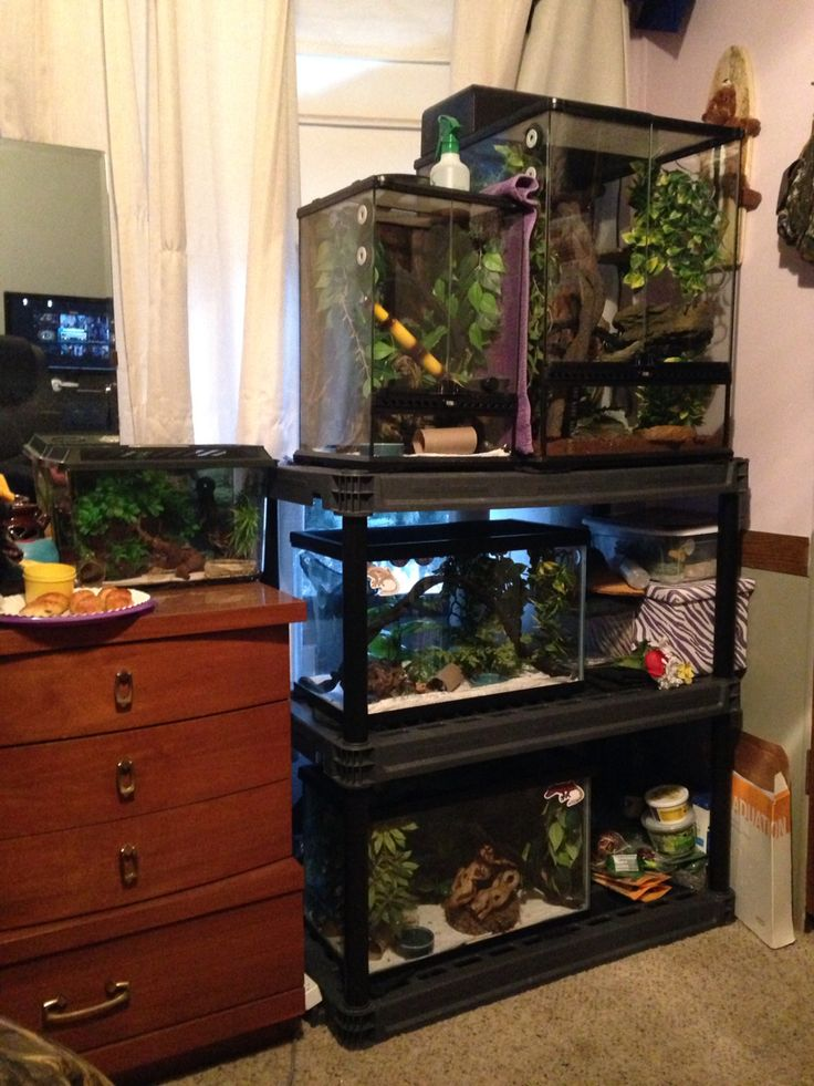 My crested gecko set up in my bedroom. 5 geckos total. Each in their own tank ranging from 4 grams to 45 grams.