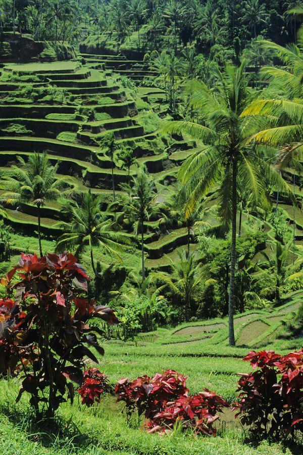 ✮ Vibrant Green Rice Terraces - Indonesia, Bali, Tegalalang