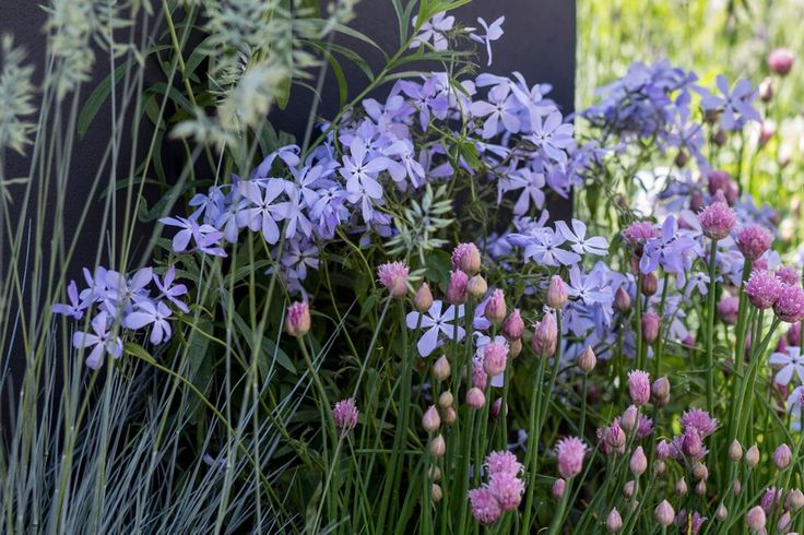 Phlox divaricata clouds of perfume phlox flowers
