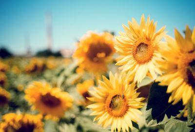 Sunflower garden wide