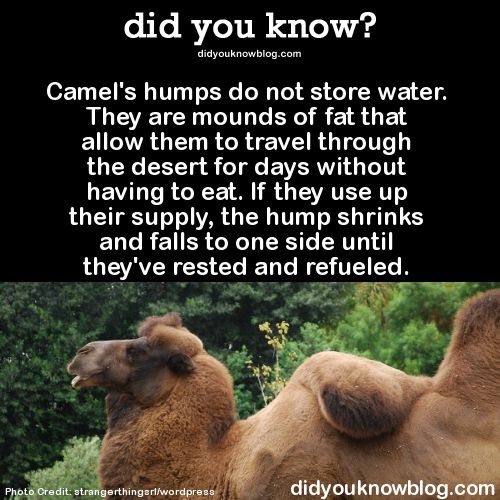 Camel humps store fat and can get flat when stores are depleted