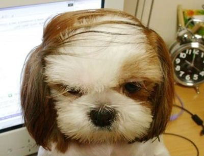 puppy comb over. he does not look amused.