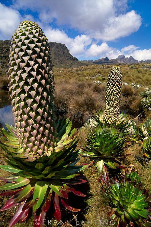 Lobelia flower, Mt Kenya National Park, Kenya