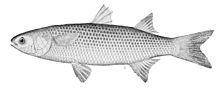 Mullet (fish) - Wikipedia, the free encyclopedia