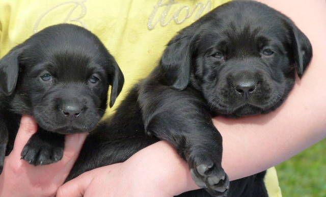 Aktuelles Retrieverparadies De Retriever Welpen Tierarzt Hunde