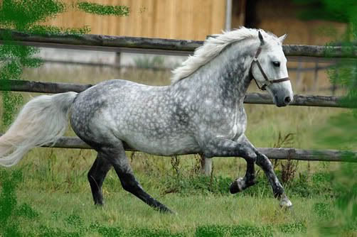 Dapple Grey Connemara Pony