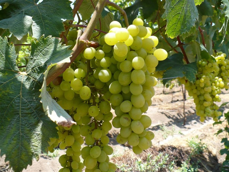 Pisco aromatics Italia grape   The most used of the aromatic varieties, are grown in all regions of Pisco of Peru, abundant production and copious bunches, the berry is oval, elongated and is one of the few grapes in the world that is used for both wine and table consumption.   Variety: White Italy  Origin: Europe  (A cross between the Biscame and Muscat Hamburg)  Main uses: Table, Pisco, Raisins  Vigo plant: Medium  Shape and Size: Oval, Large,  Grain Color: Green yellowish  Harvest Time…