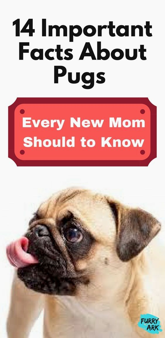 Pin By Virginia A Witman On Pug Pug Facts Pugs Baby Pugs