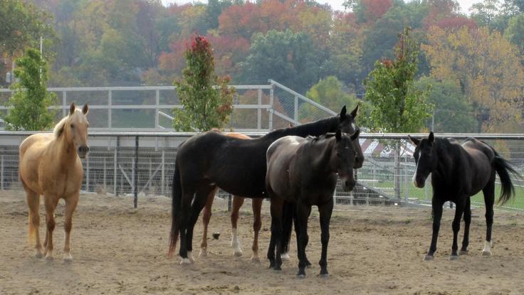 Horses at Culver Military Academy, Culver, Indiana