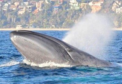 Blue Whale Facts For Kids | Blue Whale Habitat & Diet