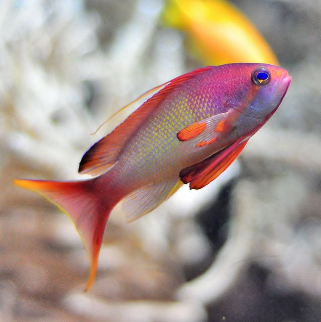 In the ocean Anthias Fish #LIFECommunity #Favorites From Pin Board #17