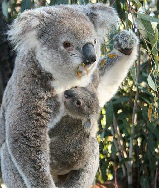 A sweet koala joey peeks out from its mother's pouch at ...