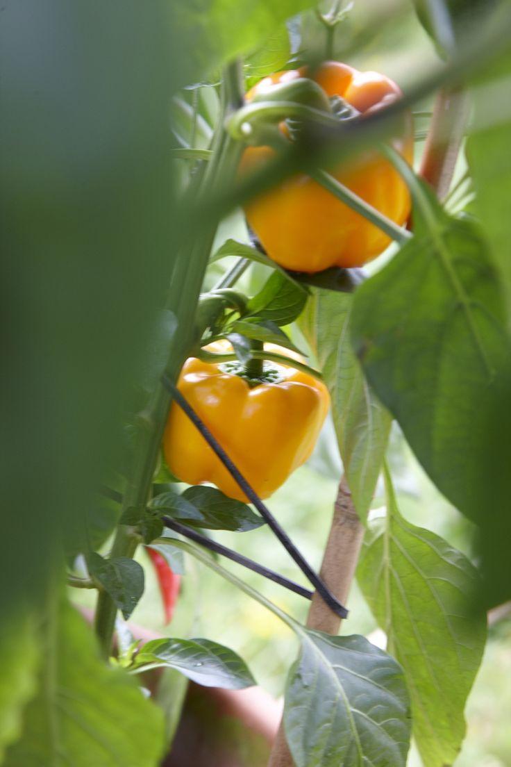 Die 25+ Besten Ideen Zu Paprika Pflanzen Auf Pinterest | Daniel ... Fenchel Pflanzen Tipps Pflege Gemuse