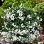 Hvid Kartoffelblomst  Frodig sommerblomst med slyngende vækst og hvide blomster i store klaser fra april til frosten kommer. Placeres solrig-let skygge og vandes og gødes jævnligt. Velegnet i krukker, ampler og udplantet ihaven. Også god i vinterhaven. Kan overvintres frostfrit - lyst og køligt.