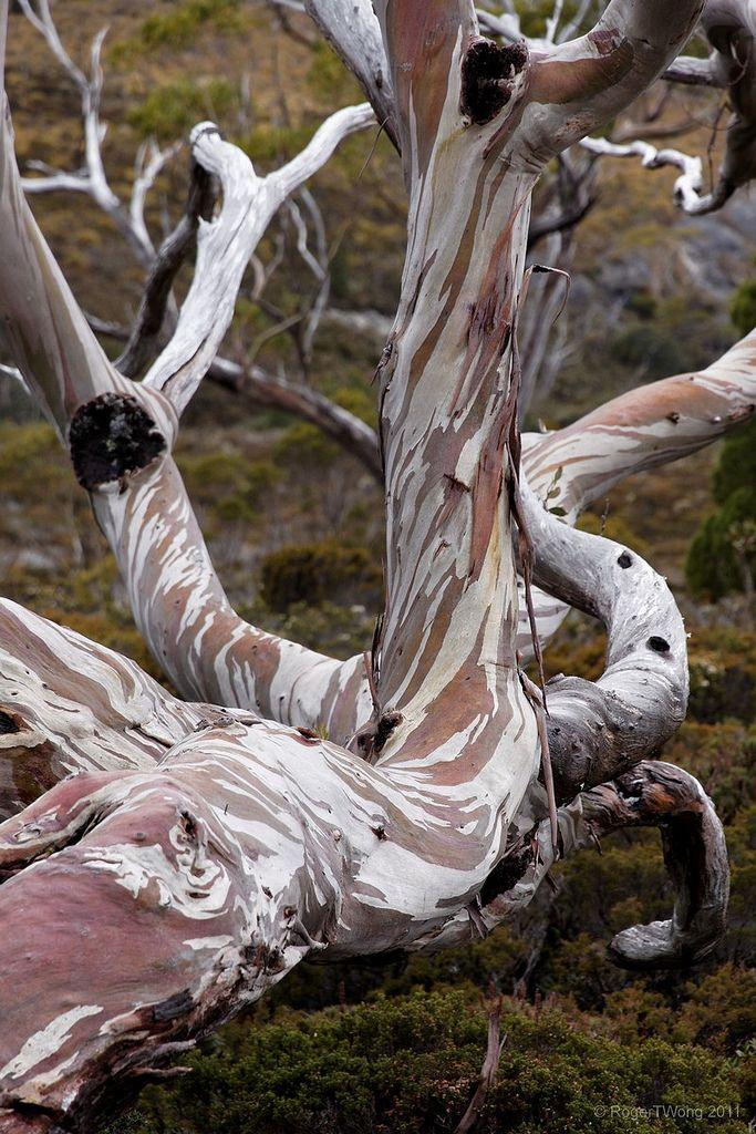 Twisted snowgum bark