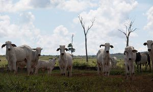 Cattle graze beside the tree stumps that are all that is left of cleared Amazon forest inside the Sierra Ricardo Franco state park.
