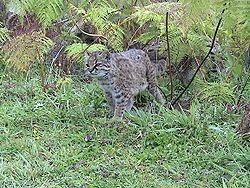 gato güiña, Chile
