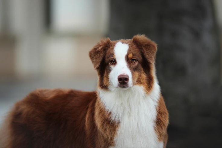 AUSTRALIAN SHEPHERD - Akita - Dog Accessories online store,   Find the Best Dog Breeds, Dog breeds medium, dog breeds for kids, dog breeds for kids, puppies cute, puppies training, puppies stuff, popular dog breeds, popular dog breeds, popular dog names puppies, dog breath remedy,  Visit our site for Best Dog Breeds and best Popular Dog Accessories.