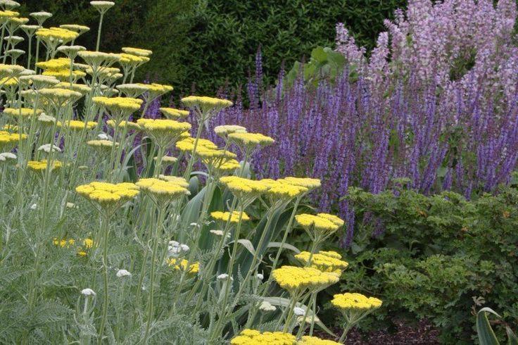 Salvia 'Lye End' and Achillea 'Coronation Gold'