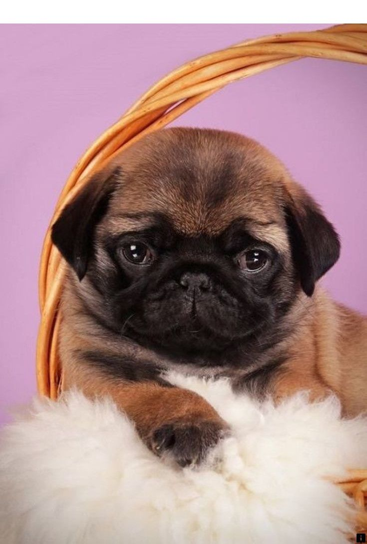 Head To The Webpage To Learn More On Baby Pugs For Adoption Just