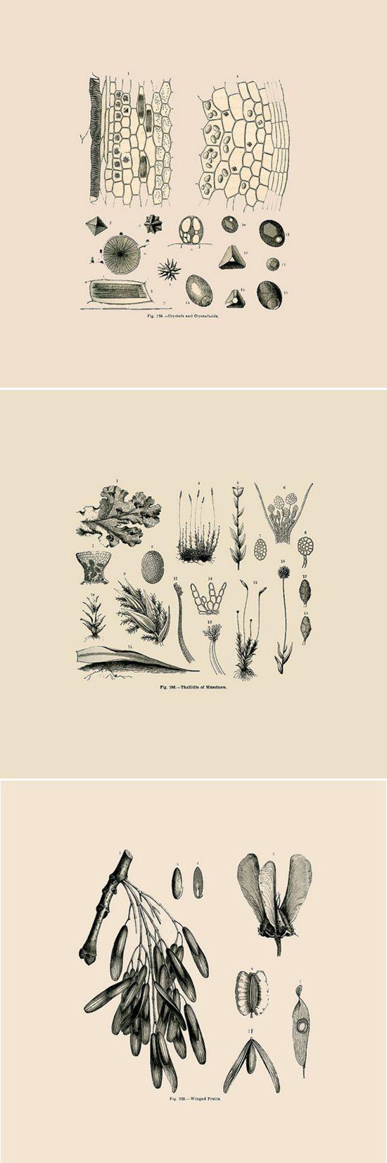 """vintage botany, via @Bri Emery""  Plant tissue anatomy...beautiful"
