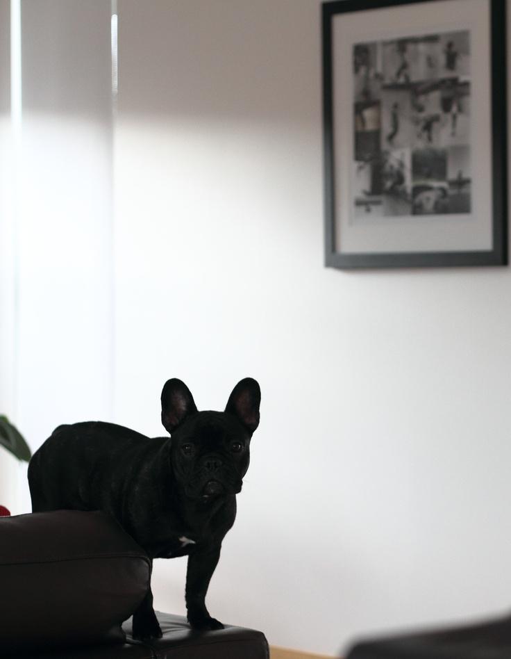 Anouk The French Bulldog