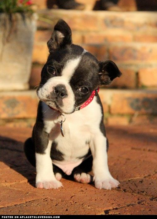 Boston Terrier Puppy...Ahhhhh they're sooo cute!!!But they take special care if you breed them. You have to help.