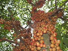 Baccaurea motleyana is a species of fruit tree which grows wild in parts of Southeast Asia and is cultivated for its fruit in Bangladesh, Thailand and Peninsular Malaysia