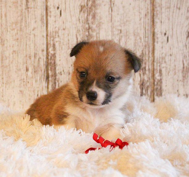 Brinley A Female Akc Corgi Puppy For Sale In Woodburn Indiana
