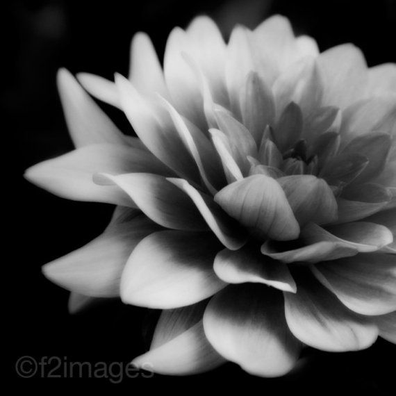 Dahlia in black and white!!!