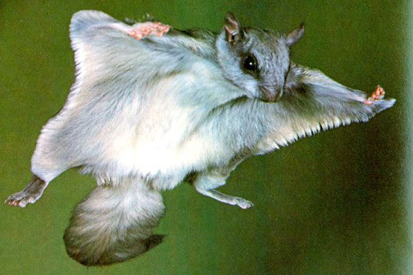 Northern flying squirrels are one of only two flying squirrel species in the world, the other being the southern flying squirrel.