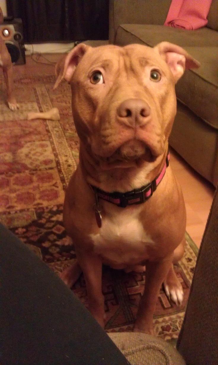 My babygirl Marley <3 #pitbull #rednose