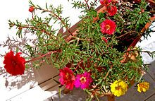 Portulaca - grows in the worst, driest soil, and blooms SO brightly! Becomes a fantastic ground cover, too!