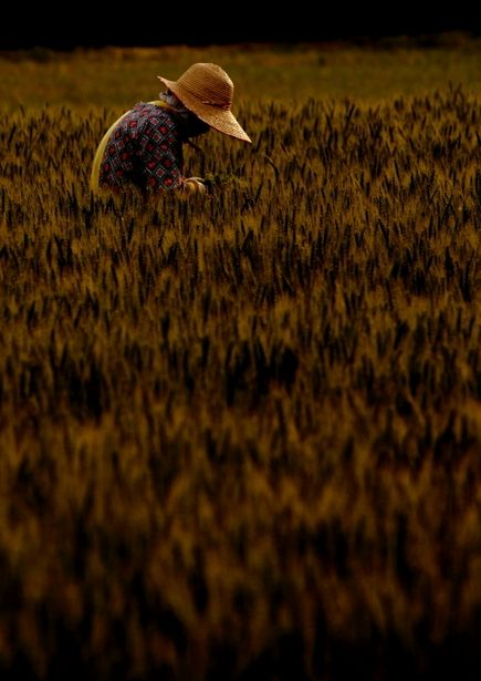 Barley fields, Japan, 2011, by チャジモリ.