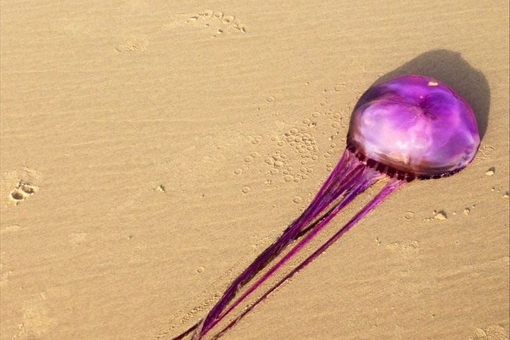 Vivid Purple Jellyfish May Be A New Species