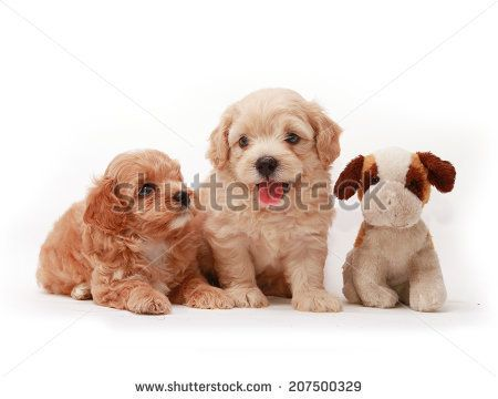Isolate of Poodle babies dogs lying on white background