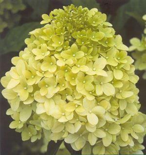 hydrangea-paniculata-magical-candle