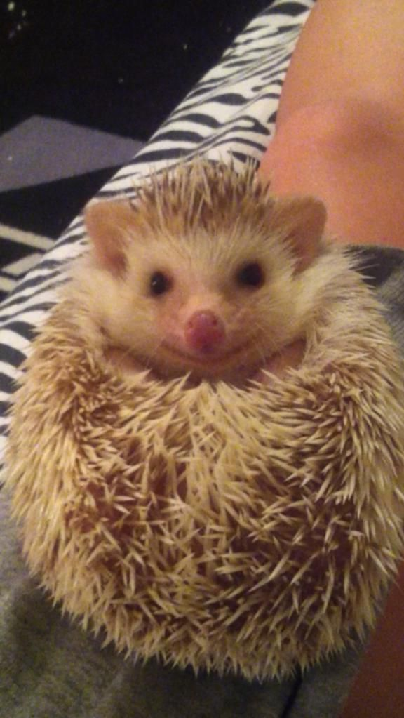 My friends hedgehog was mistreated by her original owner, and was always sad; looks like she enjoys her new owner plenty! - Imgur