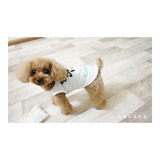 ❤︎ ・ ・ モナ❤︎4歳ですが 未だに赤ちゃんですか? と言われる事が w 幼い それが嬉しかったりします (*´▽`*) ・ ・ ・ #poodletoy#poodle#perro#pet#doglover#dog#toypoodle#愛犬#犬との暮らし#トイプードル#トイプードルレッド#トイプー#わんことの生活#わんこ#cutu