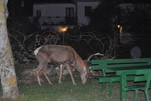 """Cervo a """"passeggio"""" tra le case nel territorio tra Pescara e Montesilvano"""