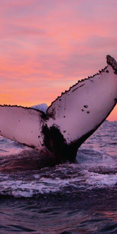 Gi bort en morsdagsgave som gjør inntrykk, et møte med disse majestiske pattedyrene er en helt magisk opplevelse. Den vakre nordnorske kysten skaper en fantastisk ramme for hvalsafarien, og gjør dette til en unik naturopplevelse. Hvalgaranti på hver tur!