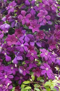 Clematis 'Negritianka' (M.I. Orlov) bears stunning velvety dark plum flowers with matching dark red anthers.
