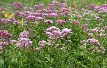 Top 10 Native Plants for Your Michigan Garden: Joe Pye Weed