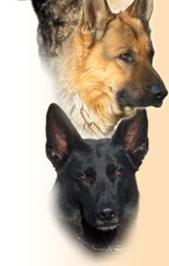 United Schutzhund Clubs of America - Schutzhund Training