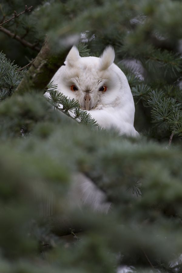 Albino Long Eared Owl by Menno Schaefer
