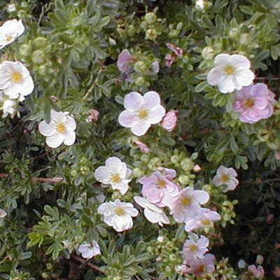 28 best Potentilla images on Pinterest Daisy Colorado and