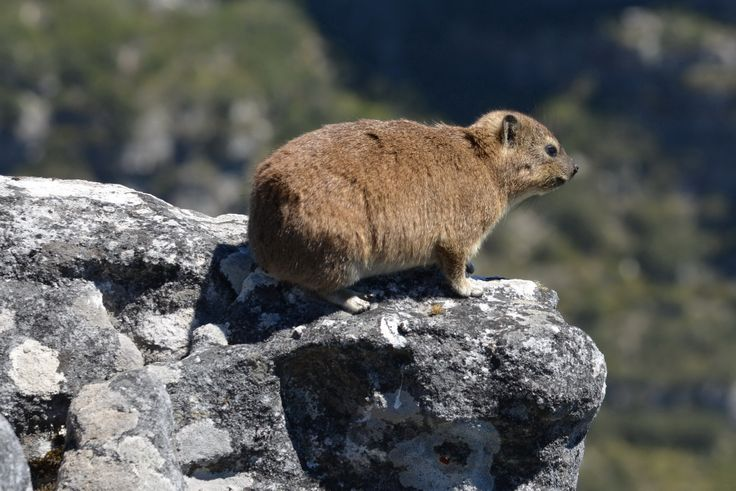 2014-01-02: Dassi on Table Mountain, Cape Town, South Africa